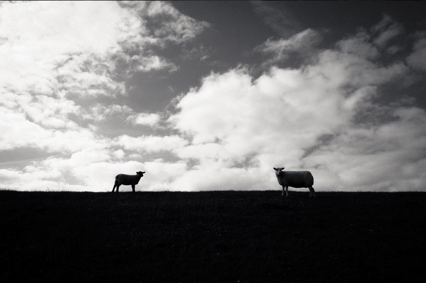 Овечки в поле