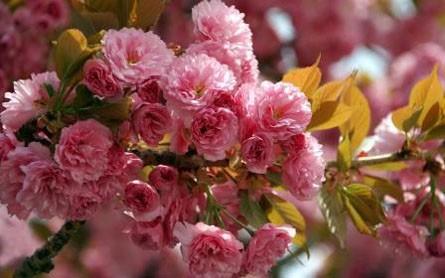 Сакура цветет в Ужгороде