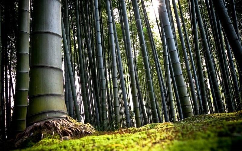 bambukovii_les
